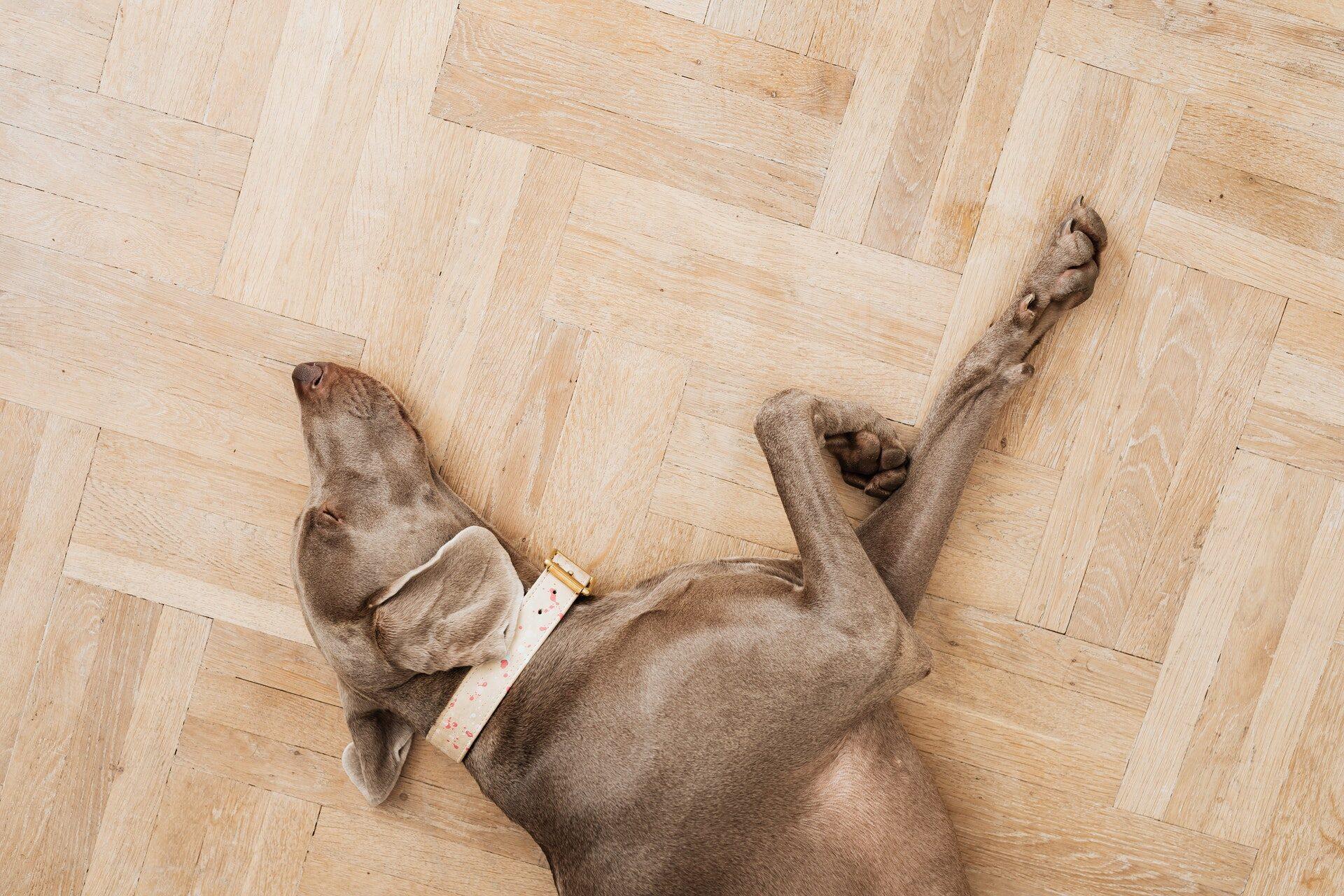 Hund liegt auf Parkettboden